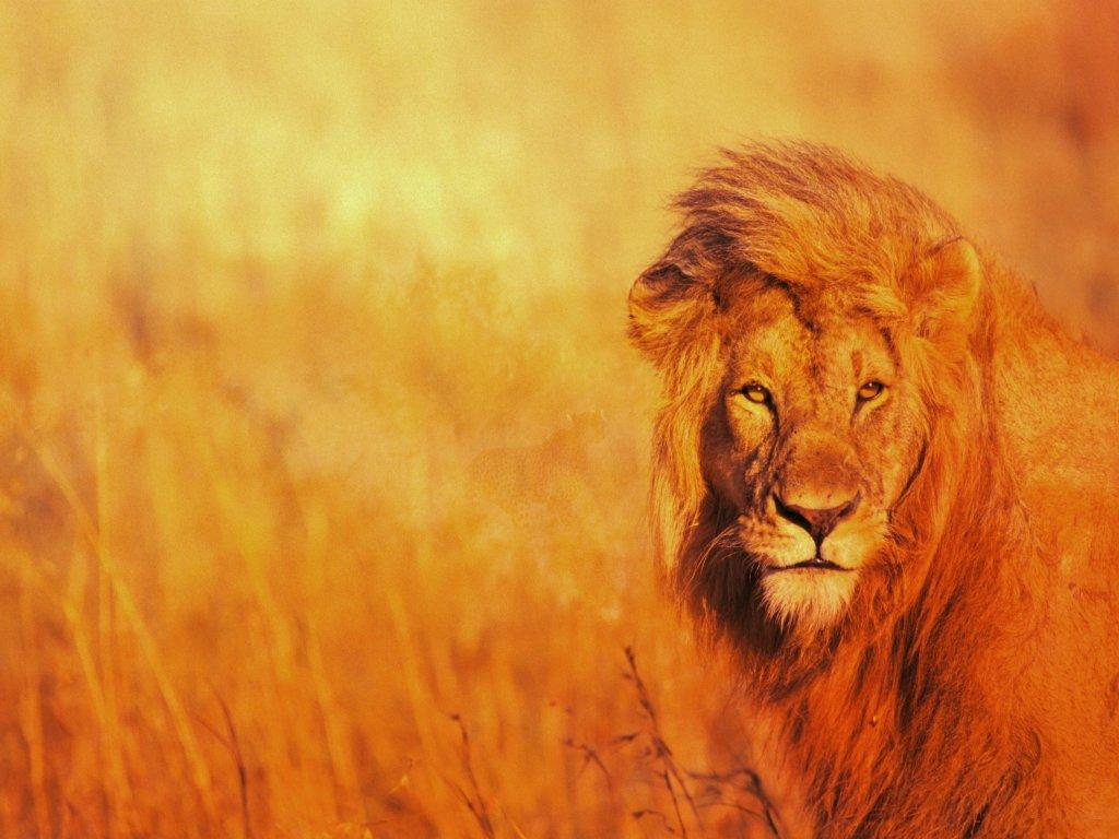 Открытки, львы на открытках